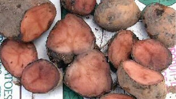 Pink rot, a fungal infection that grows in wet conditions, can spread through a crop of potatoes in storage.