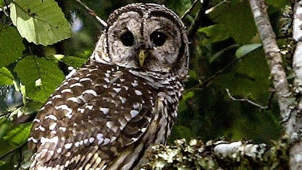 The B.C. government has approved the shooting of barred owls like this one in order to save the less-aggressive but endangered northern spotted owl.