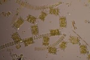 phytoplankton-300