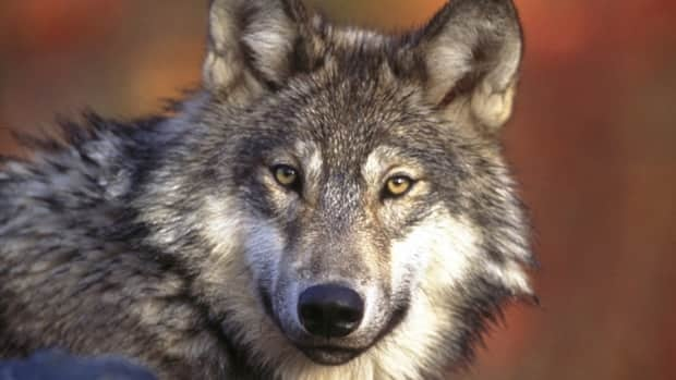 The B.C. government has ordered a cull of wolves in order to save threatened caribou herds.