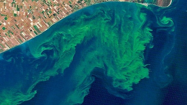Blue-green algae can produce toxins that are harmful to the health of people and animals.