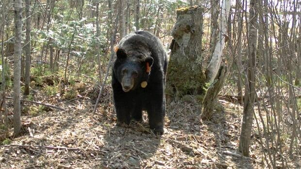 Researchers in Minnesota say this 39-year-old black bear may be the oldest bear on record in the world.