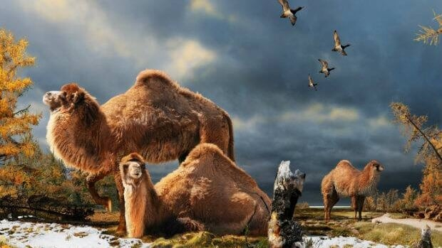 Illustration of the High Arctic camel on Ellesmere Island during the Pliocene warm period, about three-and-a-half million years ago. The camels lived in a boreal-type forest. The habitat includes larch trees and the depiction is based on records of plant fossils found at nearby fossil deposits.