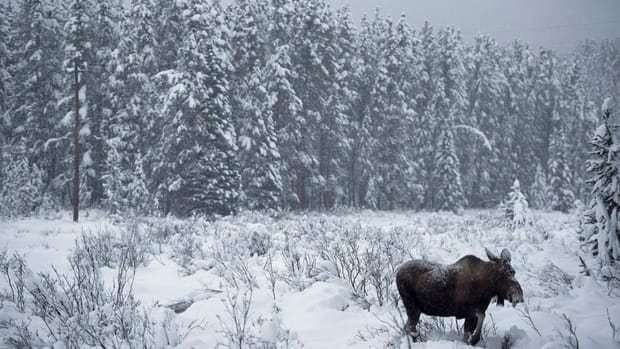 A moose makes its way through a snowy field near Lake Louise, Alta.