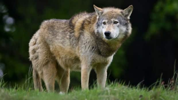 Isle Royale hosts a delicate natural relationship between wolves and moose.
