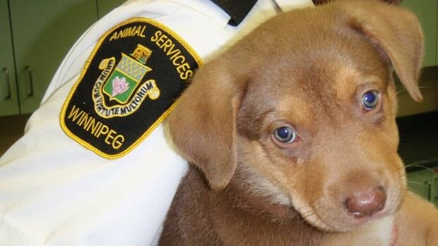 Mandy, a nine-week-old Australian shepherd mix, was brought to Winnipeg's animal services agency after being thrown out of a moving van last week in the West End, according to city officials.