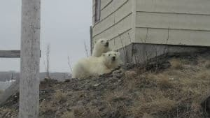nl-300-polar-bears-20130501