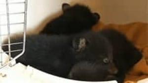 nb-bear-cubs-springfield