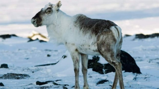 A wild caribou looks on near The Meadowbank Gold Mine located in the Nunavut Territory of Canada on Tuesday, March 24, 2009. THE CANADIAN PRESS/Nathan Denette