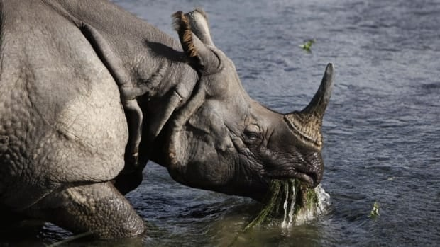 A greater one-horned rhino eats water plants from a river in Janakauli community forest, about 70 kilometers southwest of Katmandu, Nepal. Nepal is one of seven nations sanctioned by the UN for their lack of endangered species legislation or failure to adequately report their wildlife trade.