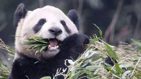 It's twins! Toronto Zoo giant panda Er Shun is pregnant