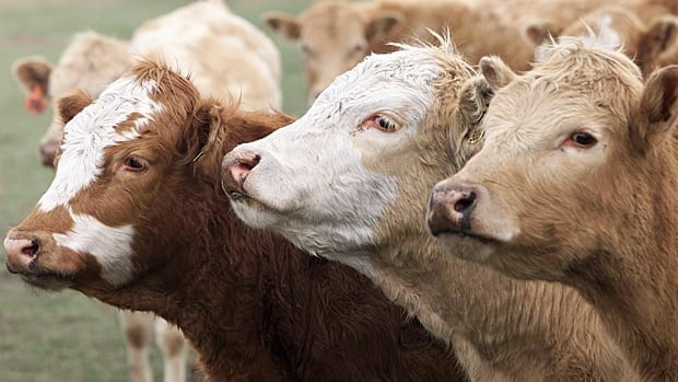 Cows are shown on a farmer's field in High River, Alta., on May 22, 2003, two days after the Canadian Food Inspection Agency and the Alberta government announced a cow from a herd  in northwestern Alberta was infected with BSE, the first case of mad cow disease reported in Canada in a decade.