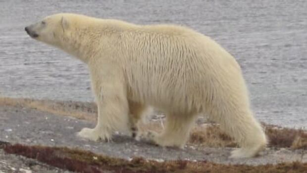 nl-polar-bear-tong-201204
