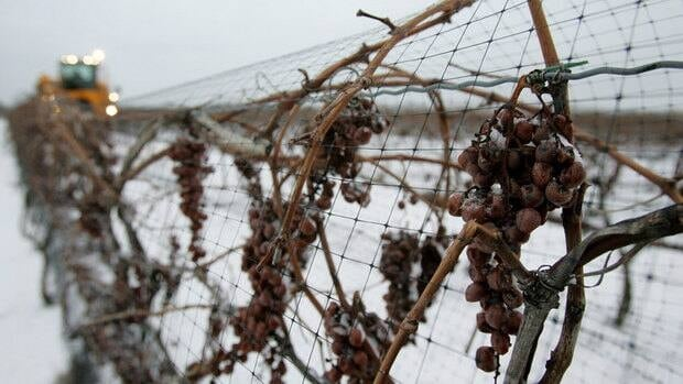 Canadian federal law states the grapes must be at -8 degrees before they are harvested.