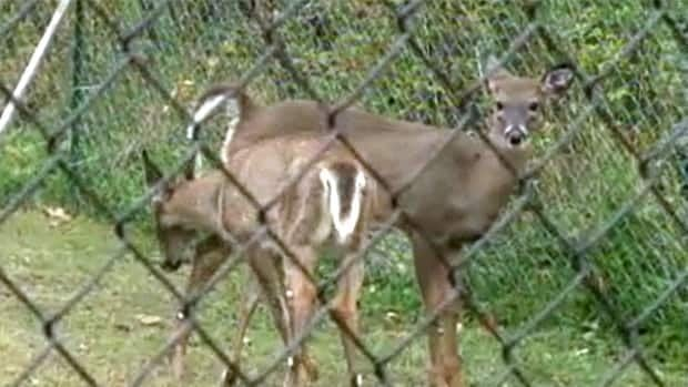 The province is delaying the imposition of regulations to legalize 15 white-tailed deer farms in New Brunswick