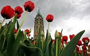 ii-tulips-220-cp-6645913