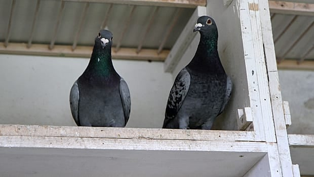 In a quiet vote on Wednesday, council voted to allow racing pigeons in urban areas of Hamilton.