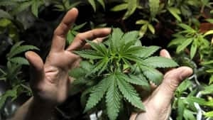mi-marijuana-cp-04801570