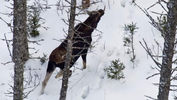 Moose have been observed walking roughly three kilometres a day despite the heavy snowfall in the province.