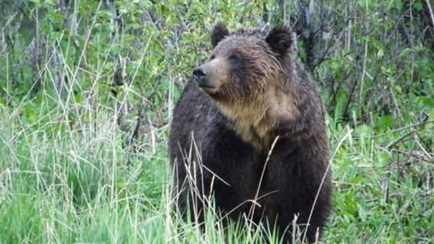 An Alberta wildlife biologist says the province must formalize into legislation the ban on grizzly bear hunting.
