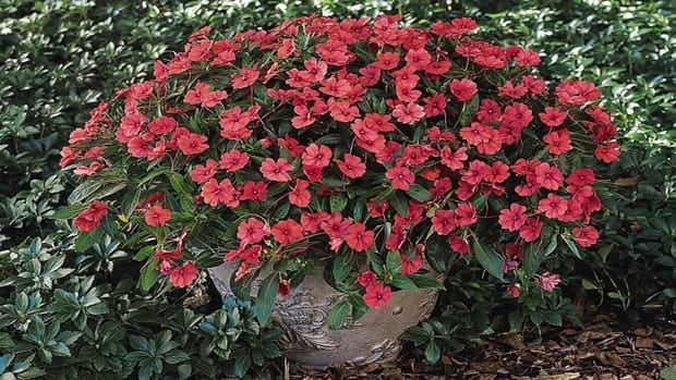 Some varieties of impatiens such as the New Guinea variety are not susceptible to downy mildew, but the most commonly used plants are.