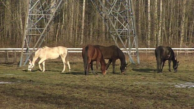 Farmers say horses in Langley, B.C. are startled by the propane-fuelled cannons used to scare birds off of nearby blueberry farms. (CBC)