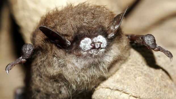 White nose syndrome is fatal to most of the bats exposed to it.