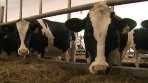 hi-eaton-cows-20130718