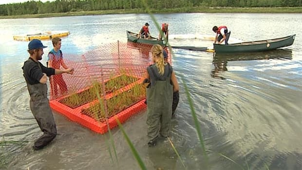 Researchers are testing a floating bioplatform to see if the cattails will grow on it in deeper water.