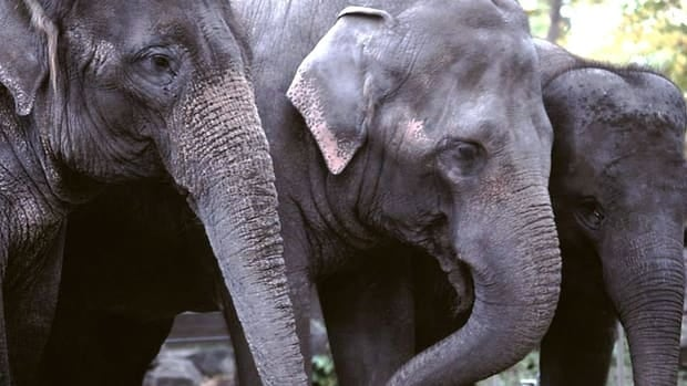 The Calgary Zoo is moving its three Asian elephants — Kamala, Swarna and Maharani — to the Smithsonian's National Zoo in Washington, D.C. Male Asian elephant Spike is being relocated to a Florida zoo.