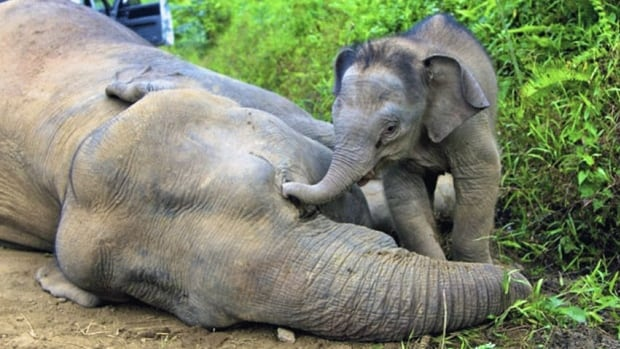 A three-month-old elephant calf tries to awake its dead mother at the Gunung Rara Forest Reserve in Sabah, Malaysia. Ten endangered Borneo pygmy elephants have been found dead in the Malaysian forest under mysterious circumstances, and wildlife authorities suspect that they were poisoned.