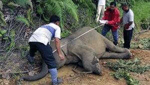 si-elephant-malay-300
