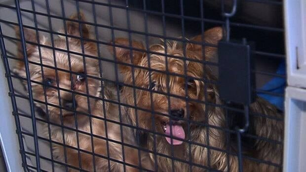 These Yorkshire terriers were among close to 100 puppies and breeding dogs seized from a commercial dog-breeding operation on Montreal's South Shore today.