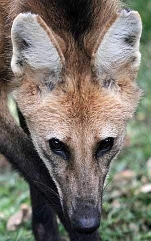 mi-brazil-manedwolf-300