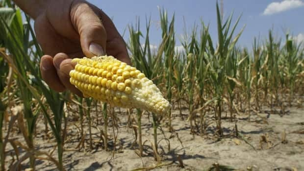 A lack of rain and extremely hot temperatures across the U.S. midwest has hurt the country's corn output. But Canadian farmers are predicting a bumper crop this year.