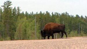 mi-bison-nwt-highway