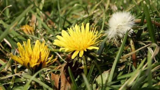 The Manitoba government is looking at banning the sale and/or use of cosmetic lawn pesticides to kill weeds, like dandelions, as well as bugs and other pests.