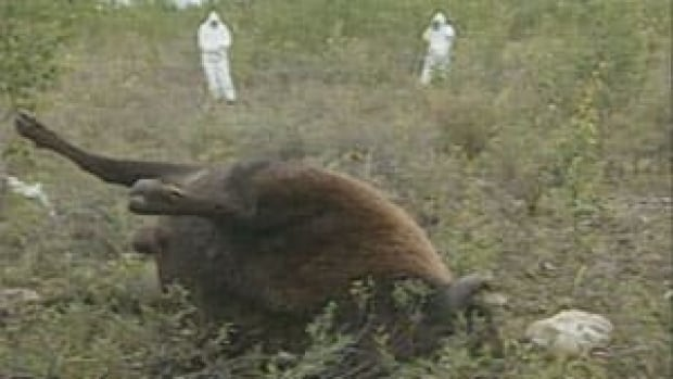 Anthrax spores occur naturally in the ground in the area. In certain conditions, duch as dry hot weather after a period of high water levels, the spores can become concentrated and become a hazard to bison.