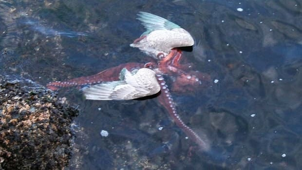 An octopus struggles with a seagull in the water off Victoria in this photo taken by Ginger Morneau.
