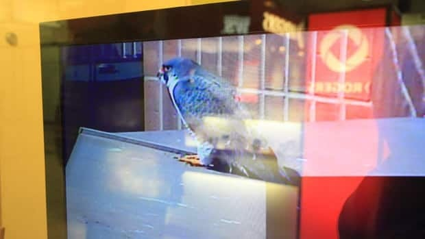 Father-to-be Surge hangs out on the ledge atop the Sheraton Hotel. Hamiltonians can watch the nest via a webcam perched on the Sheraton Hotel.