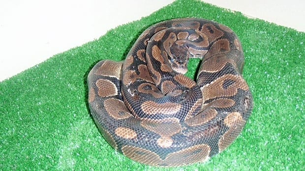 The snake found in a Winnipeg dumpster will be held by the city until a home can be found for it.