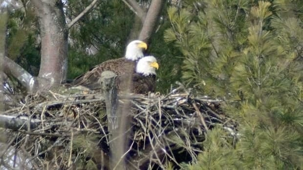 Several years after first making the Cootes Paradise Nature Sanctuary home, a pair of bald eagles have managed to hatch young.