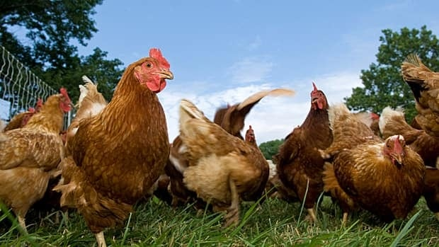 Hamilton councillors passed up the opportunity to develop an urban chicken bylaw on Tuesday. (iStock)