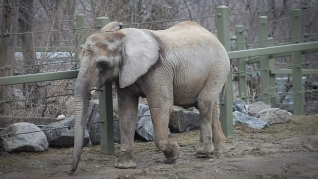 Iringa is one of three elephants at the Toronto Zoo. A national zoo watchdog says it has asked if the Royal Canadian Air Force will help move the elephants to a sanctuary in California.