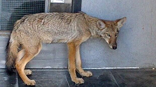 Windsor Police received a call a frightened coyote roaming the streets of downtown Windsor on Sunday.