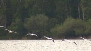si-lake-isle-pelicans