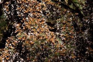 si-300-monarchs-mexico