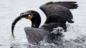 pe-hi-cormorant-fish-cp-4col