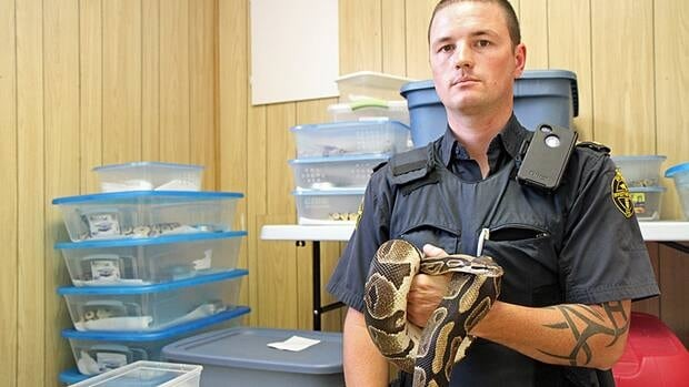 Pythons were kept in crampted plastic containers without water