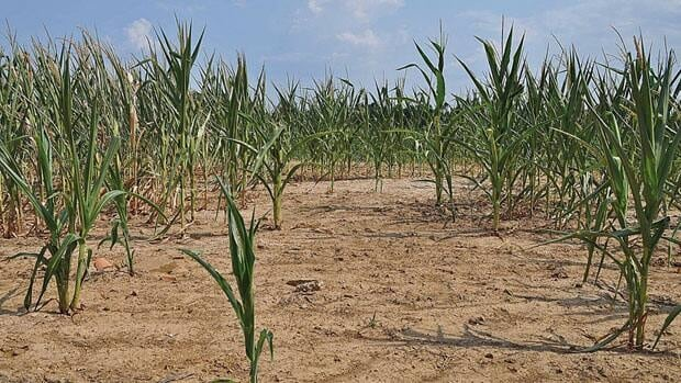 A corn crop withers in the sun on Thursday in western Kentucky.